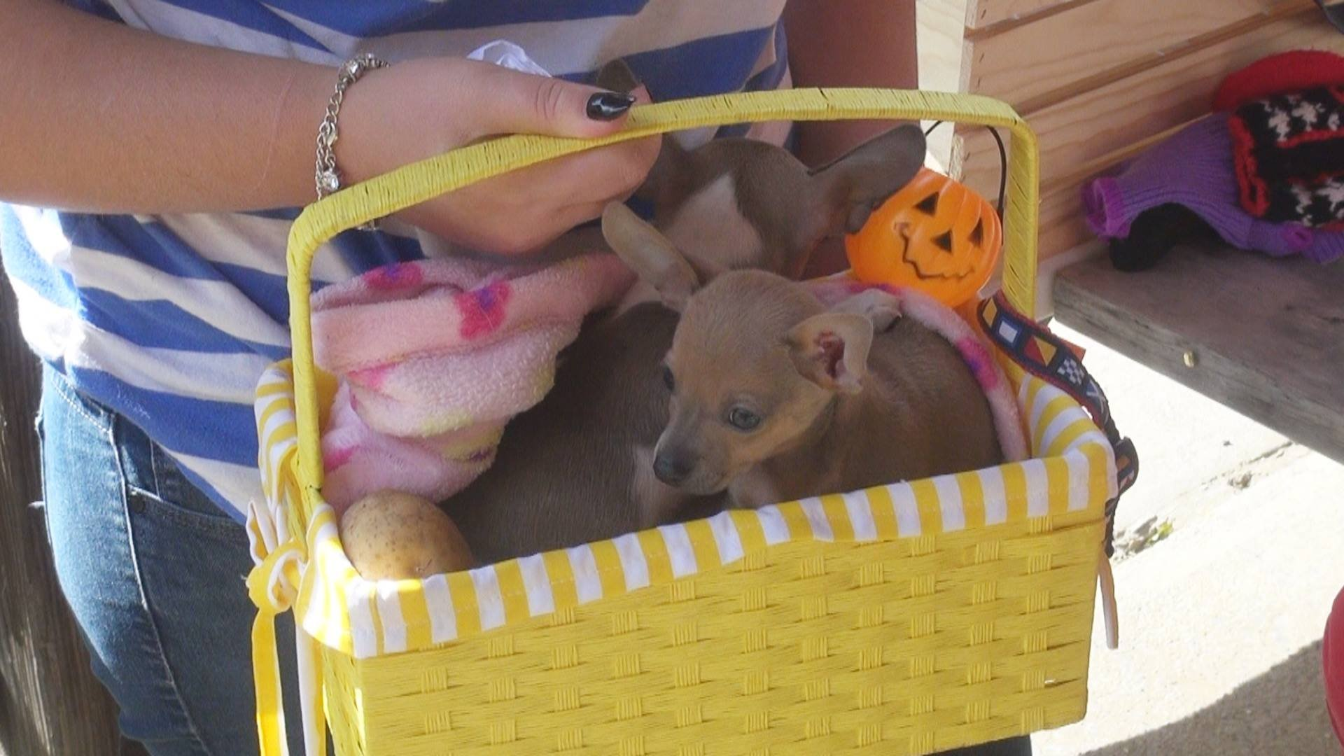 'Spud' and 'Tater': Chihuahua puppies being Fostered by Animal Friends of NCWV